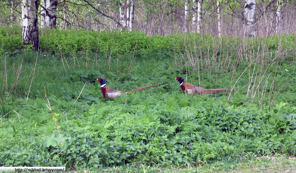 И шляются фазаны.