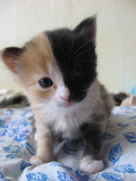 Кошка-арлекин