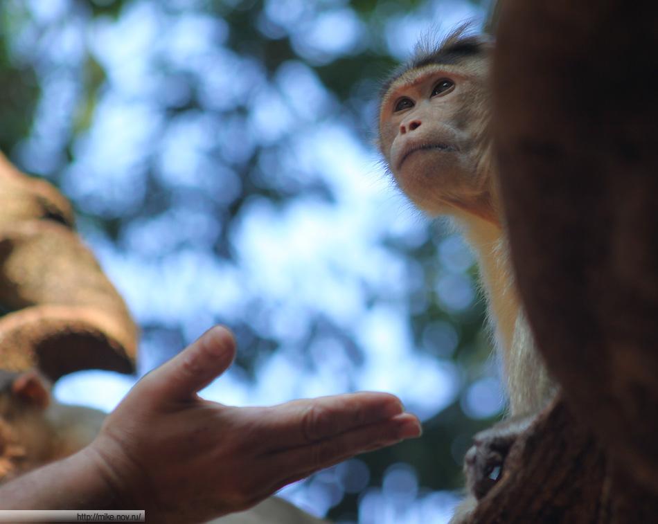 Местные обезьяны в туристический сезон достаточно сыты