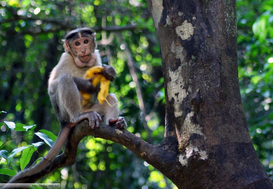 Обезьяны - одно из развлечений для туристов. В сезон на 30 обезьян приходится 300 кормящих туристов.