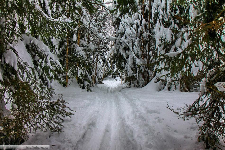 Лыжня в елках
