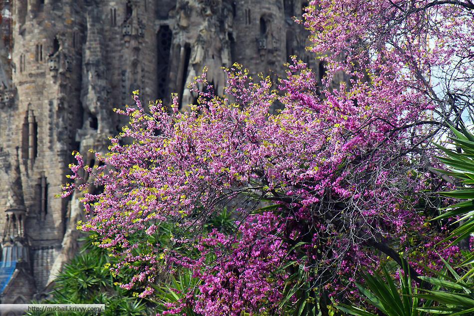 Саграда Фамилия на фоне цветущих деревьев.
