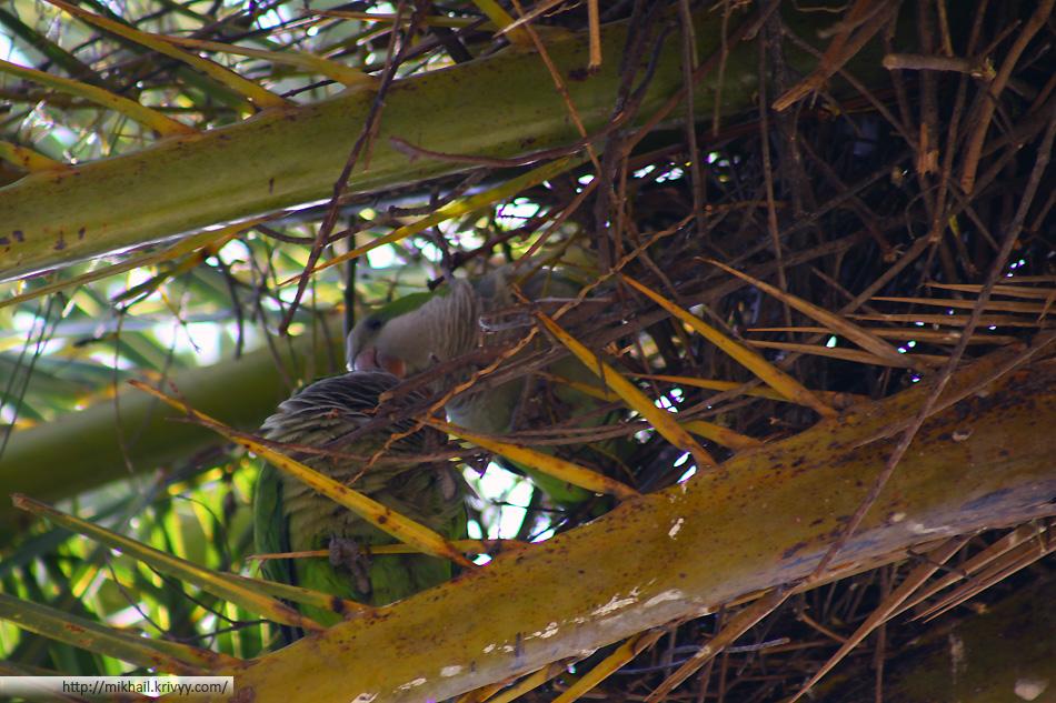 Дикие попугаи. Какое счастье что у нас они не живут. Более шумных и неугомонных птиц еще поискать нужно.
