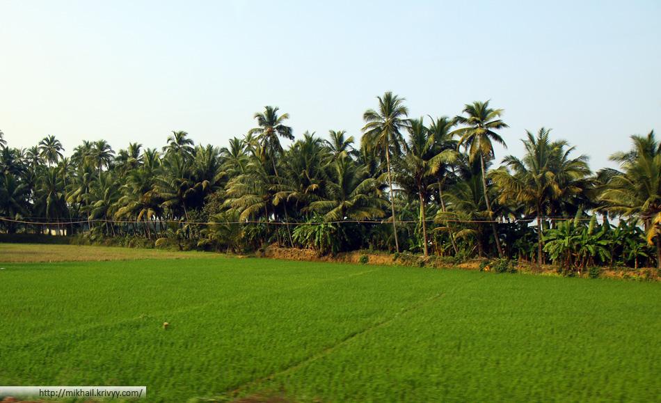 Рисовый поля, пальмы. Штат Гоа