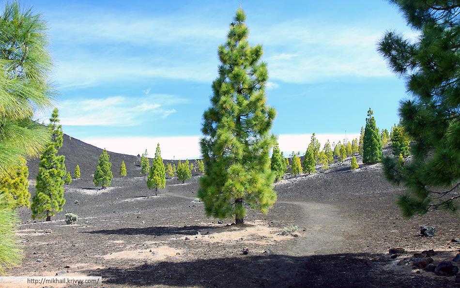 Доржки к вулкану проходят между редкими соснами прямо по застывшей лаве.