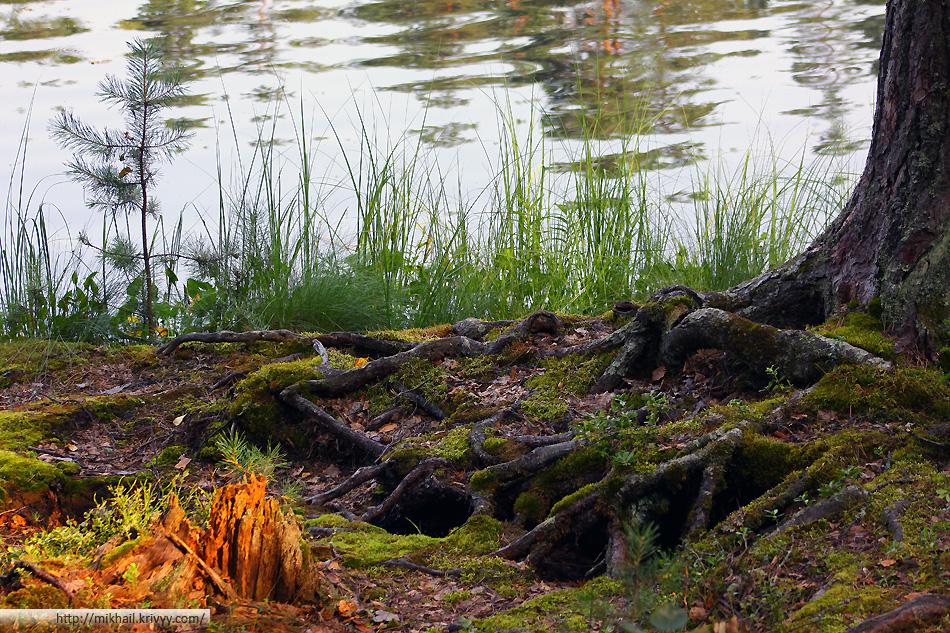 Корни дерева на берегу озера.