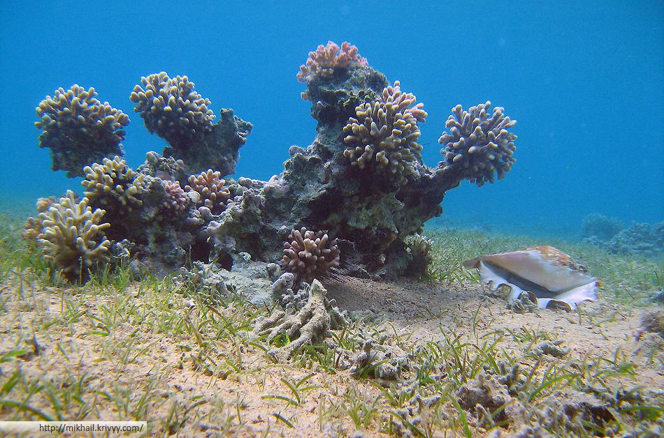 Коралловая баночка и ракушка. Живая, я ее перевернул только для фото. Потом вернул на место в нужном положении. Глубина около 2 метров.