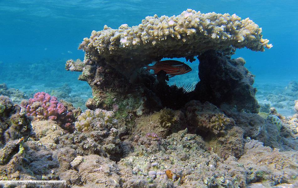 Коронованная рыба-белка (Sargocentron diadema) в домике из мелковетвистой акропоры (Acropora microclados)
