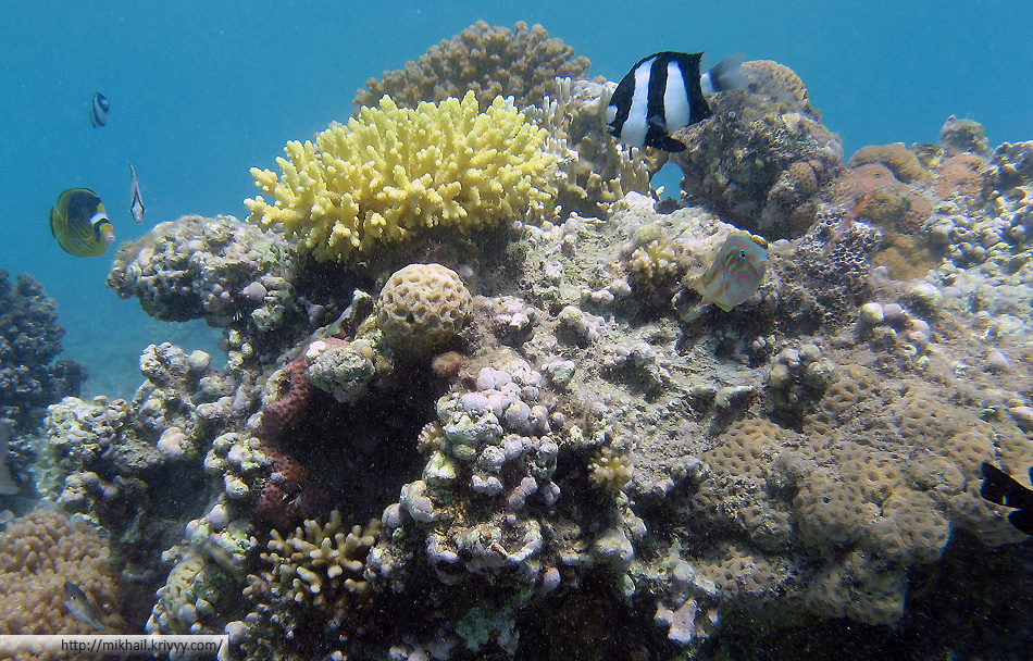 Желтый коралл - арабская акропа (Acropora arabensis Hodgson & Carpenter), полосатая рыбка - Зебровидный дасцилл (Dascyllus aruanus), желтая рыбка - Полосатая рыба-бабочка