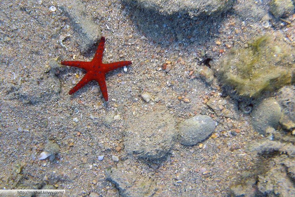 Хургадская морская звезда. Размер около 5 см.