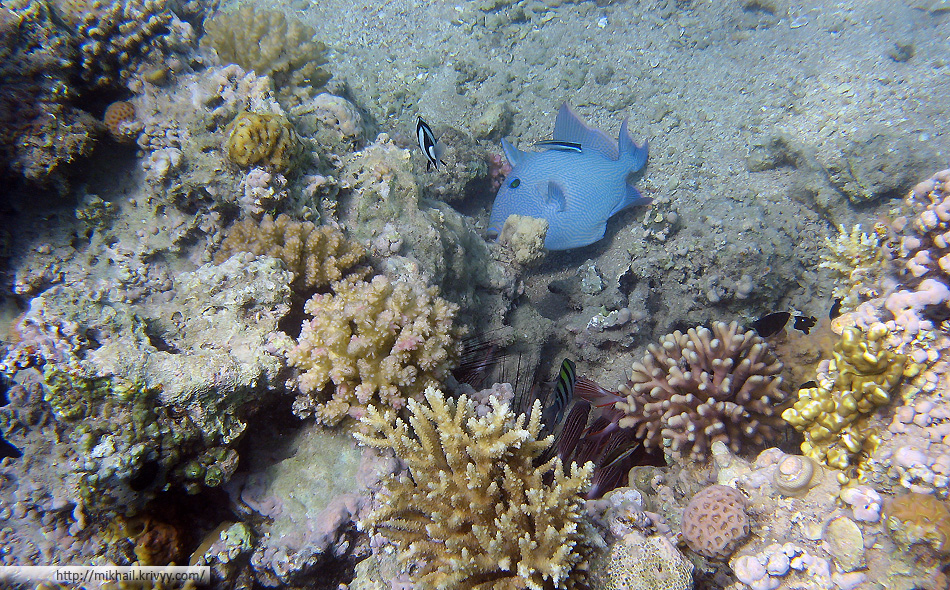 Голубой псевдобалист (Pseudobalistes fuscus)