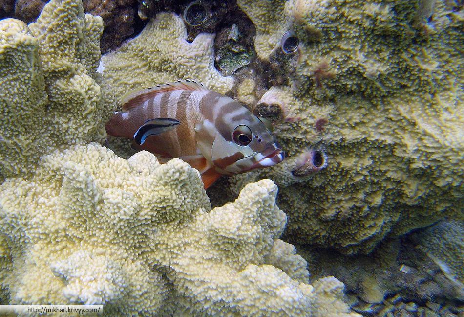 Краснополосый групер (Epinephelus fasciatus)