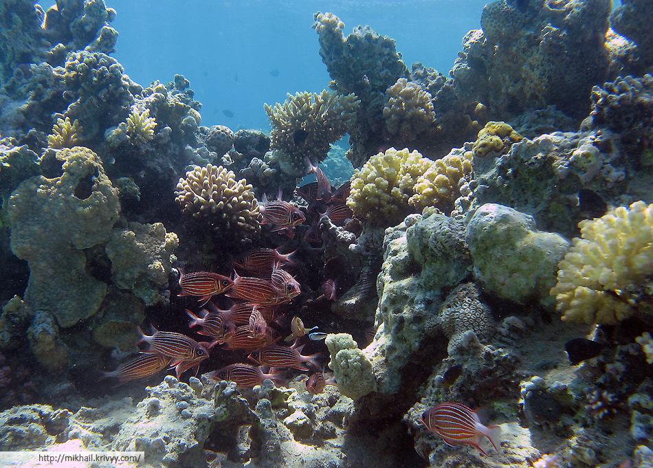 Коронованная рыба-белка (Рыбы солдаты).