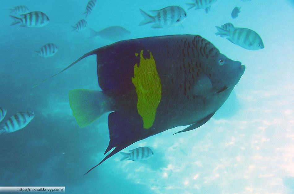 Жёлтопятнистая рыба-ангел (Pomacanthus maculosus)
