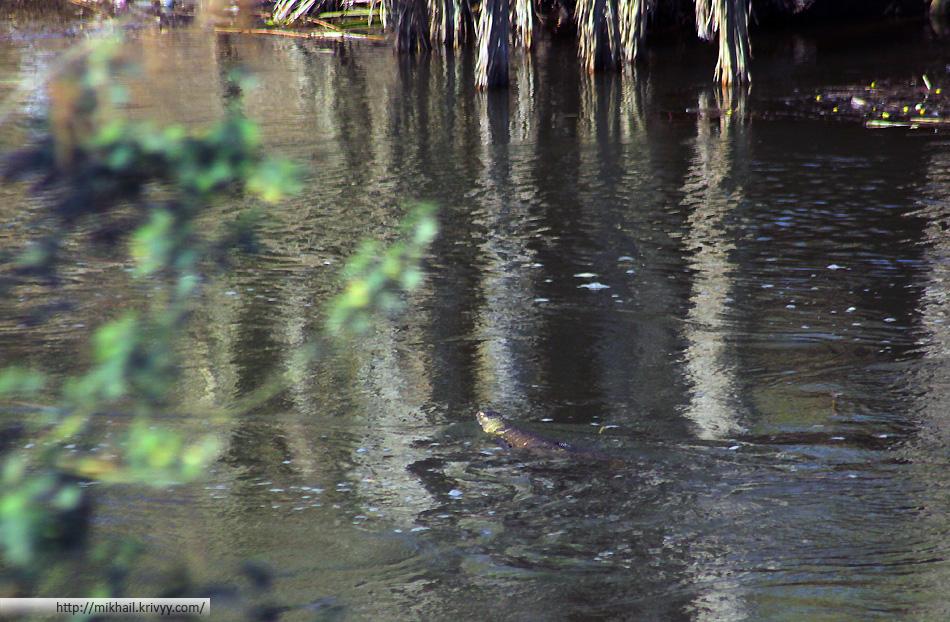 Крокодил в одном из каналов. Долина реки Нил, немного южнее города Кена (Qena)
