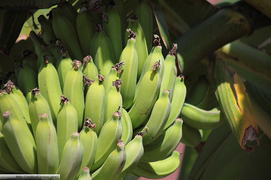 Гостиница поддерживает имидж банановой республики и забавляет гостей банановыми пальмами.
