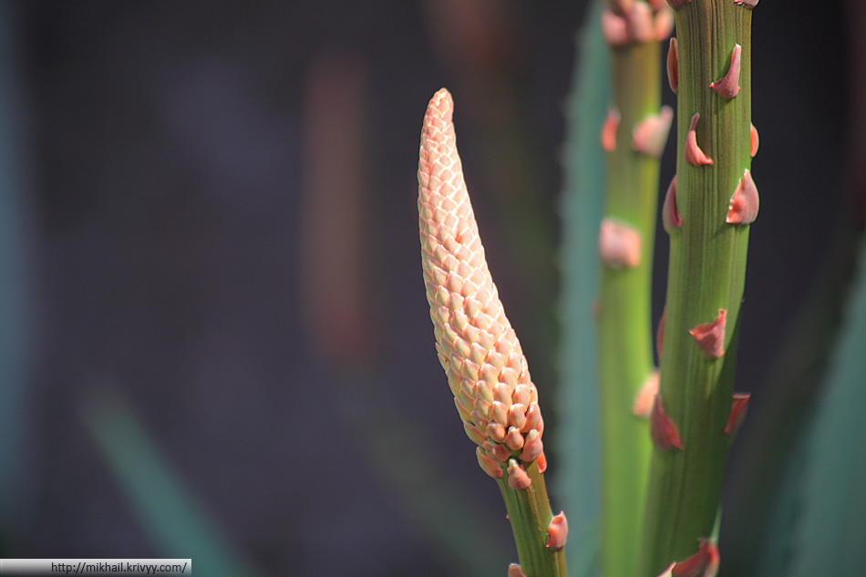 А вот это растение - символ Канарских островов. Там оно попадалось нам уже высохшим, а тут цветет во всю (Этот экземпляр только собирается).