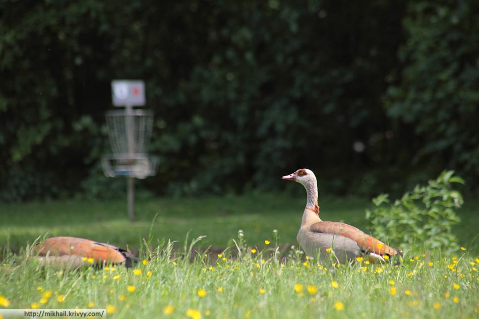 Ostpark. Египетские гуси у пятой корзины.