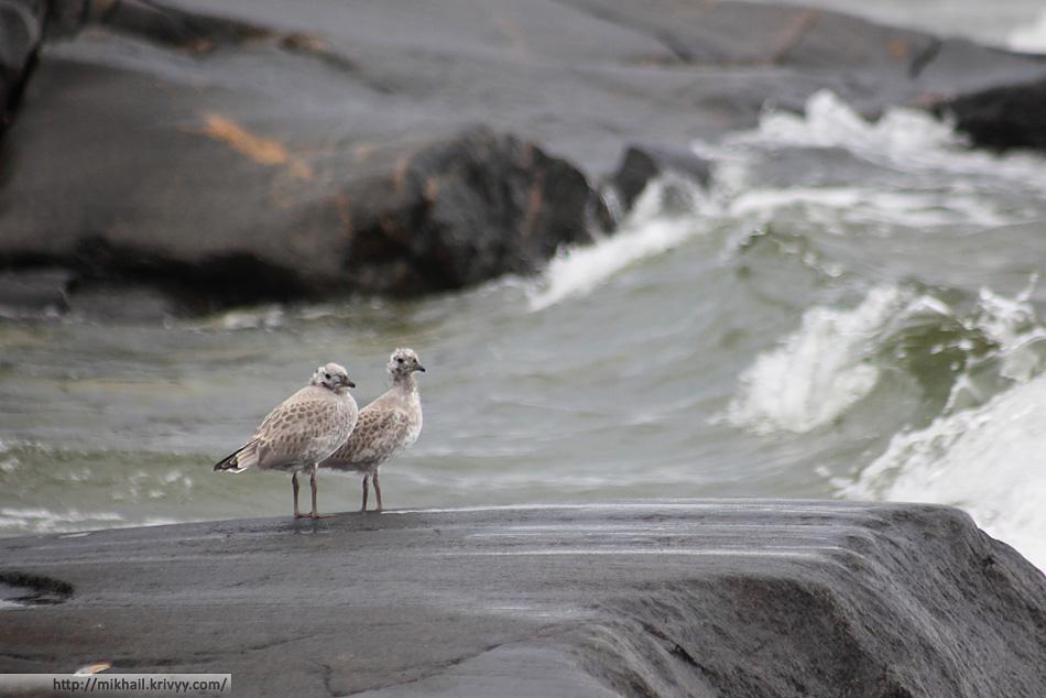 В окрестностях Ханко очень много птиц. Рай для бёрдвотчинга.
