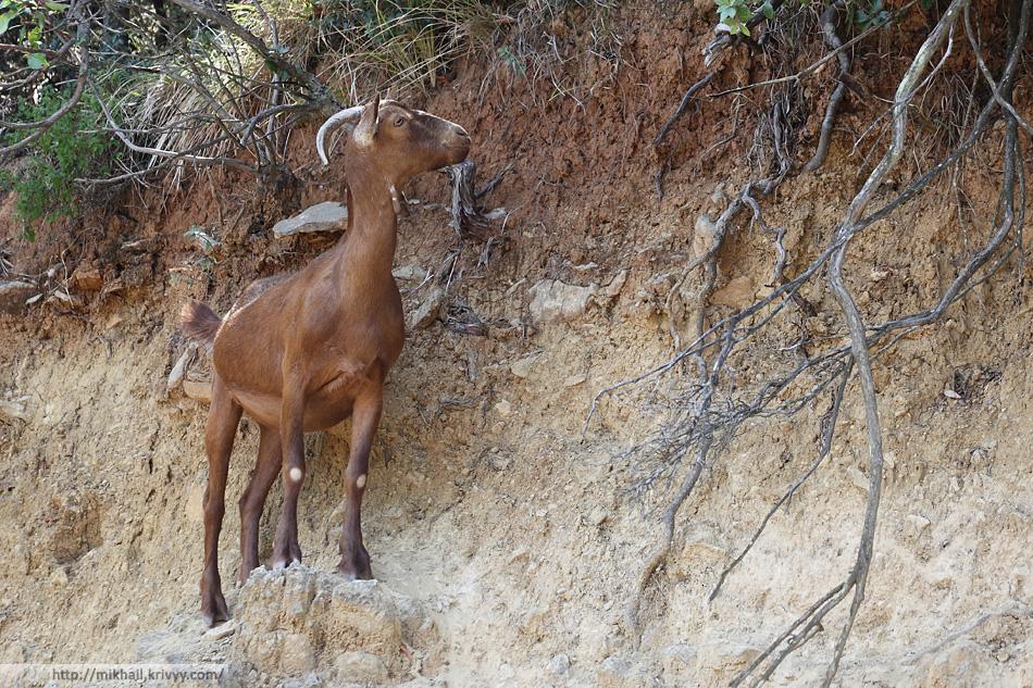 Вдоль грунтовой дороги повсеместно пасутся домашние козы. Тут такая растительность, что даже козы с дороги стараются не сходить.