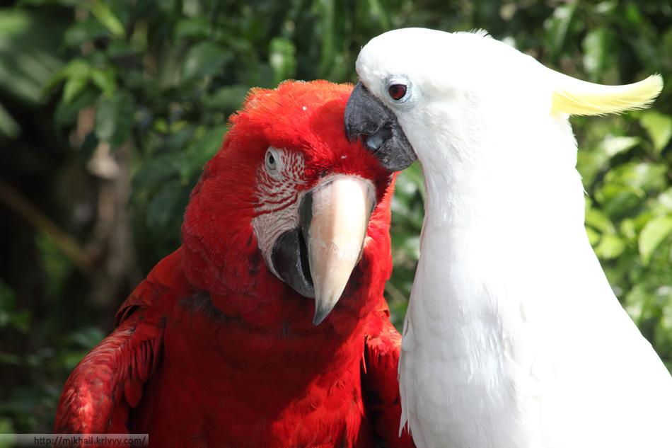 Еще один аттракцион - фотографии с попугаями. 20 юаней.