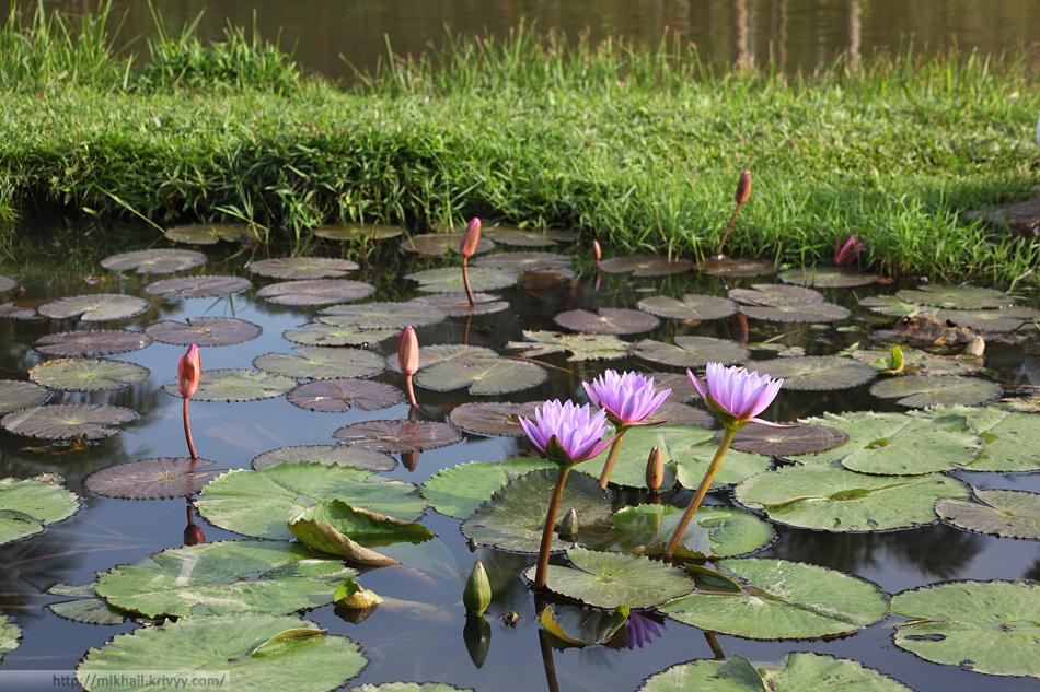 Цветы лотоса. Не удивлюсь если и они искусственные. Национальный парк Янода. Хайнань. Китай.