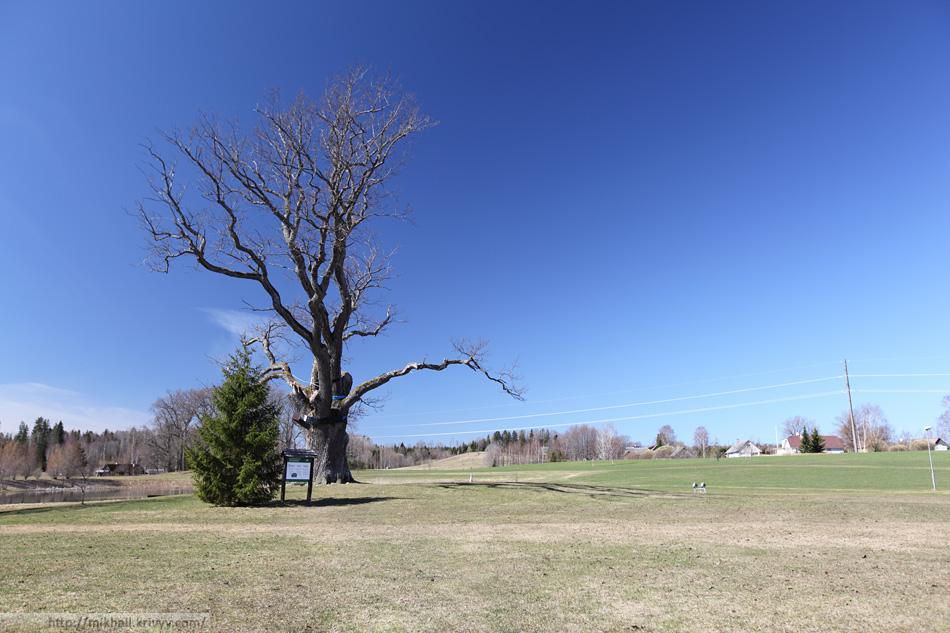 Центральное место в парке занимает дуб.
