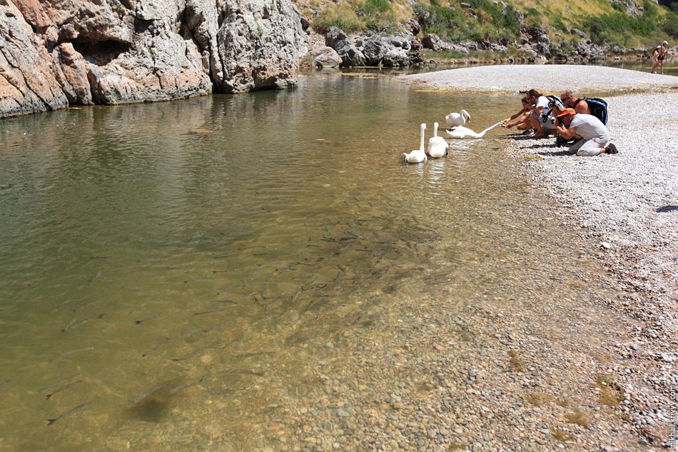 Лебеди и рыба в одной из заводей.