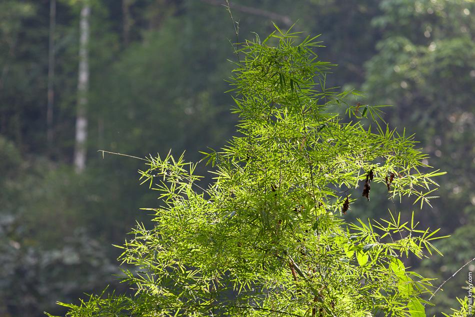 Свежие побеги бамбука.