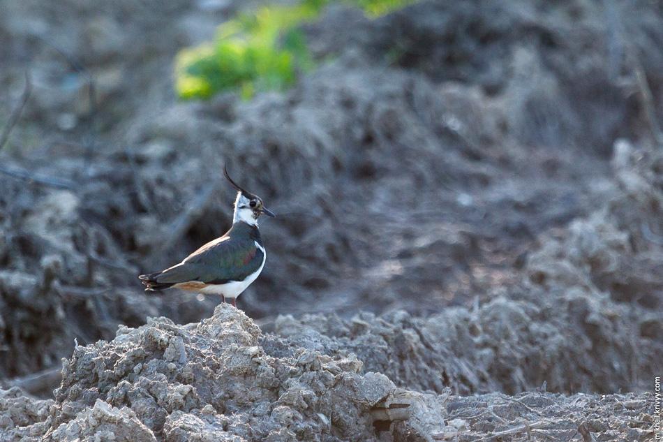 Во время затишья просеку облюбовали луговые и болотные птицы. Особенно много чибисов, они любят заболоченные луга.