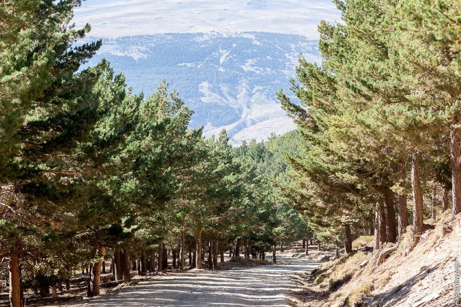 На высоте в 1800 - 2000 метров начинается сосновый лес. Причем сосны наши, а не средиземноморские.