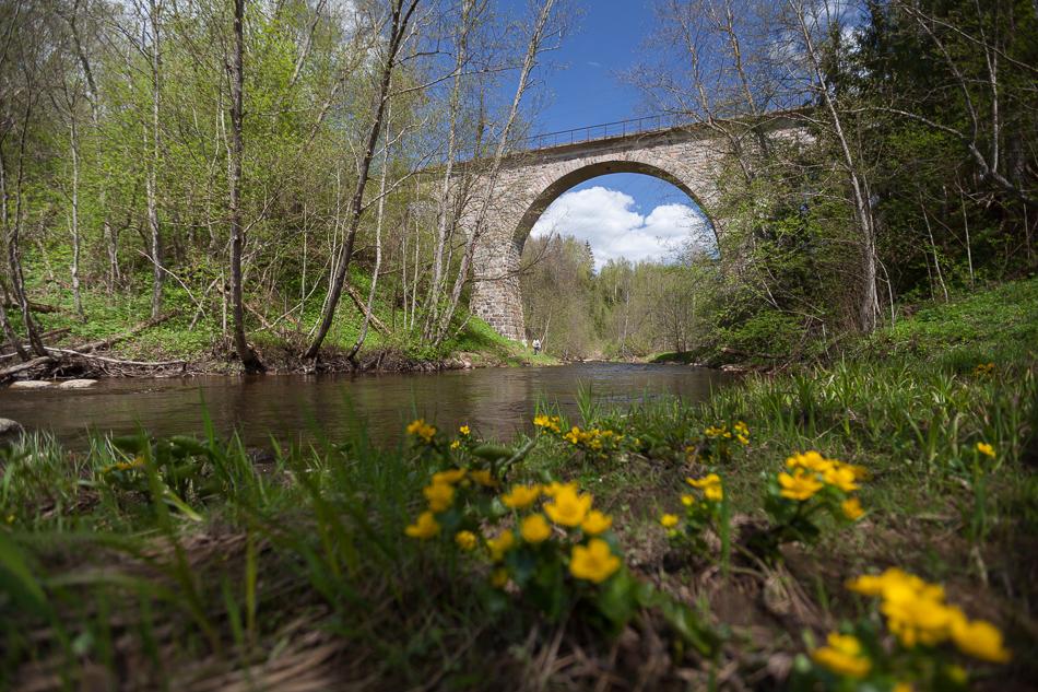Мост через реку Ярынья и болотная калужница. В лесу сейчас все цветет.