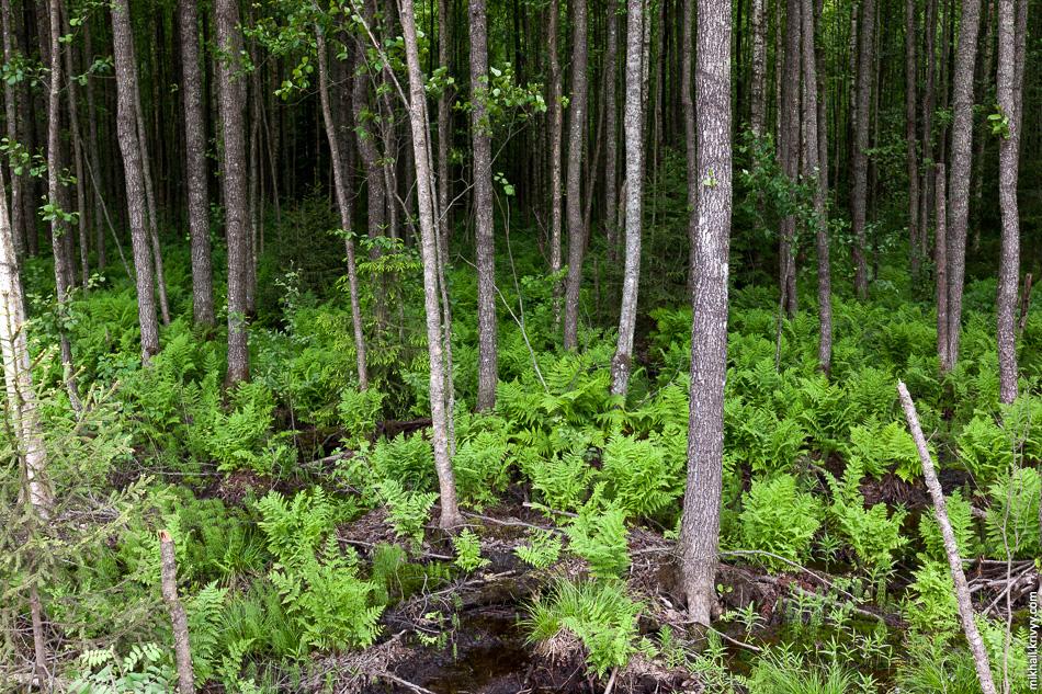 Единственное, что бросается в глаза, это лес. Эта поездка сломала стереотип о лесе «Мясного Бора». Оказывается он разный, от вполне себе сухого соснового бора с черничникам, до «непроходимых джунглей» и «мангровых зарослей».
