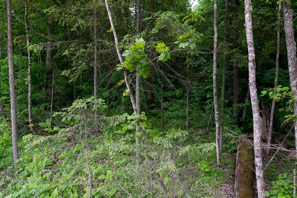 Лес типа «непроходимые джунгли».