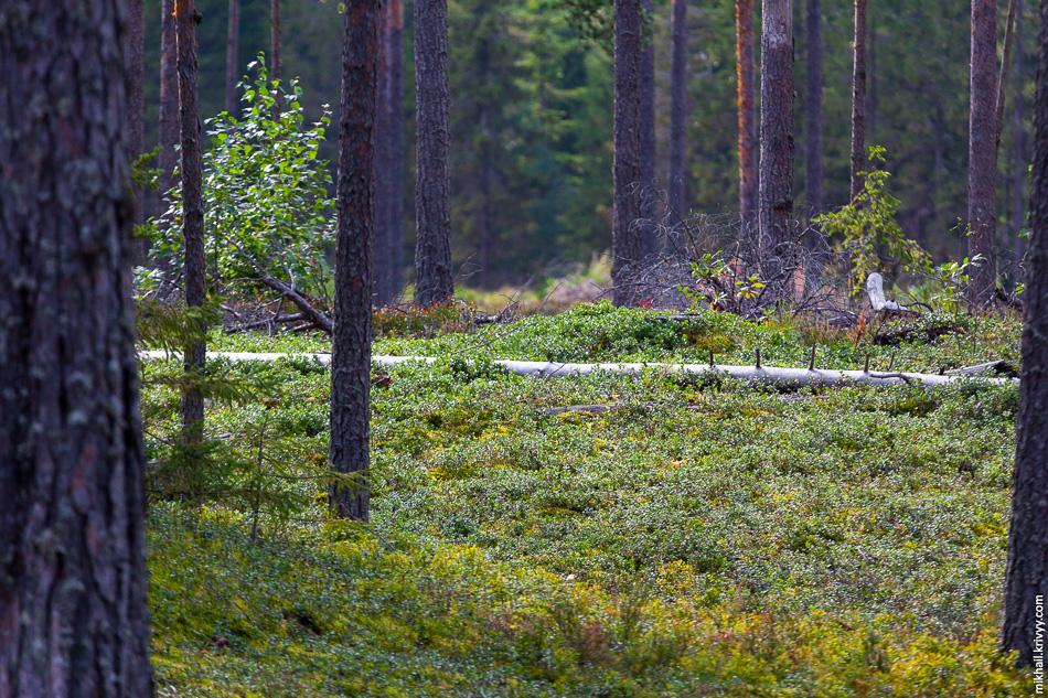27. Сухой сосновый лес с грибами и ягодами.